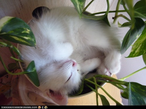 asleep,Cats,cyoot kitteh of teh day,planters,plants,sleeping,white