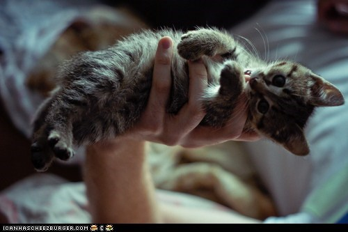 bench press cyoot kitteh of teh day hands holding lifting tiny - 5884704512