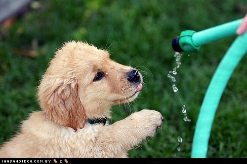 adorable cute puppy cyoot puppeh ob the day golden retriever hose puppy water wet yard - 5887811072