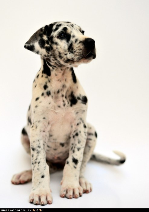 adorable cute puppy cyoot puppeh ob the day great dane puppy spots - 5887820032