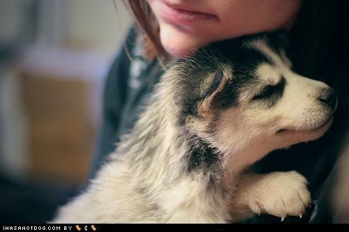 adorable cute puppy cyoot puppeh ob the day human husky i love you love loves mine nuzzle puppy
