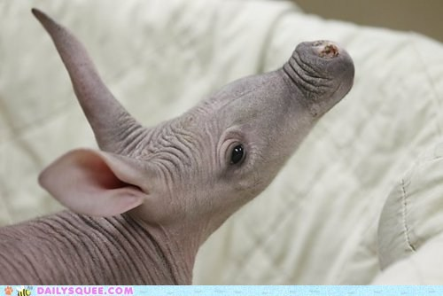 aardvark baby ears hairless nose wrinkly - 5888774656