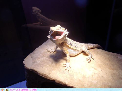 basking,bearded dragon,Heat,lizard,pet,reader squees,rock