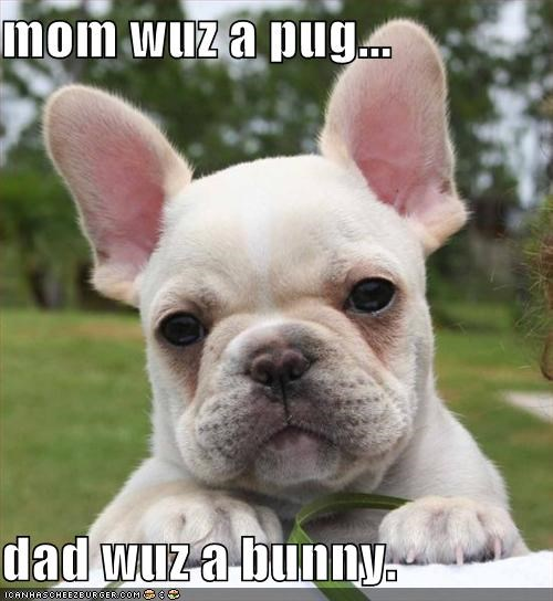 bunny french bulldogs puppy - 589632768