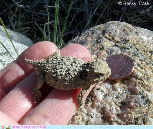 blainvilles-horned-lizar lizard penny squee spree tiny winner - 5899909888