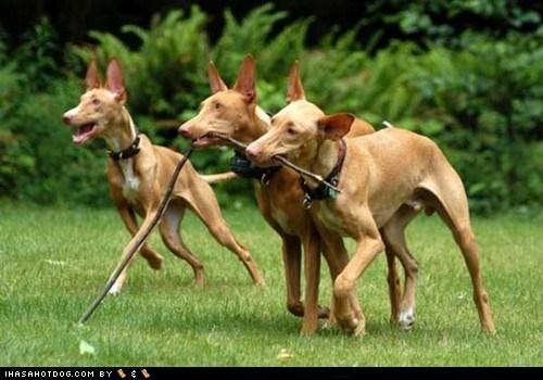 friends goggie ob teh week pharaoh hound play playing run running stick - 5901567488