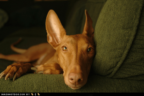 couch goggie ob teh week laying down pharaoh hound sweet face