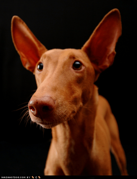 big ears ears goggie ob teh week im-all-ears pharaoh hound - 5901587968
