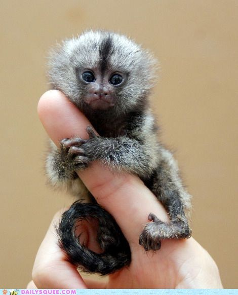 best of the week finger fingers hands marmoset primate pygmy marmosets squee tiny - 5901874432