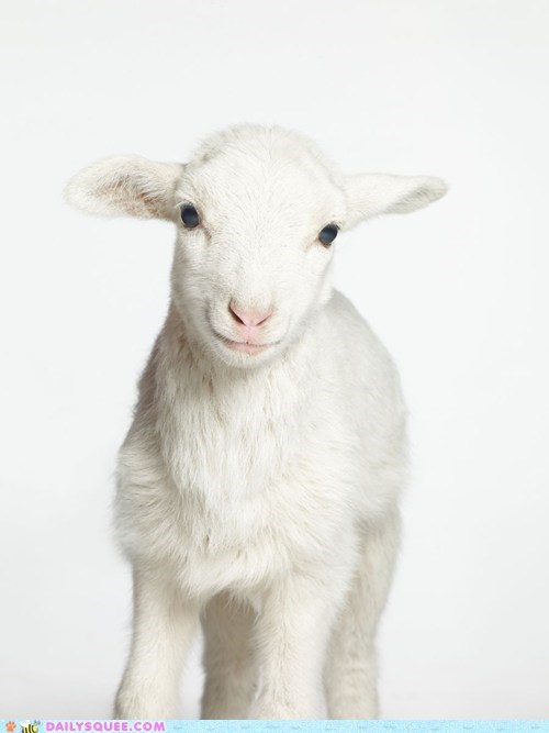 baby lamb nuzzle sheep white - 5901883648