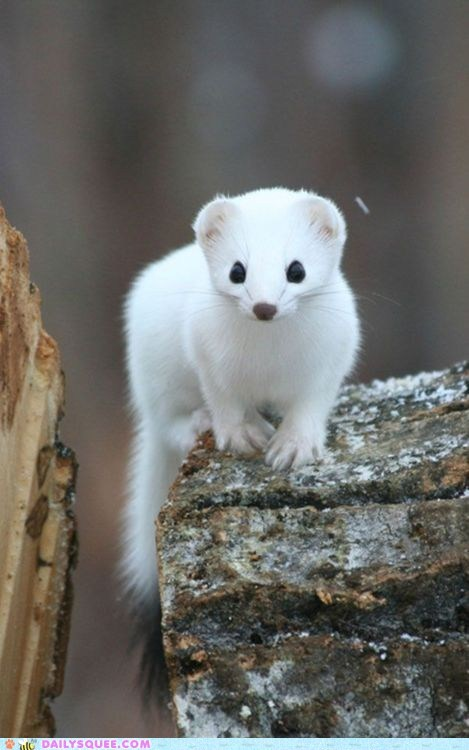 cute log mongoose mustelid snow squee tree white