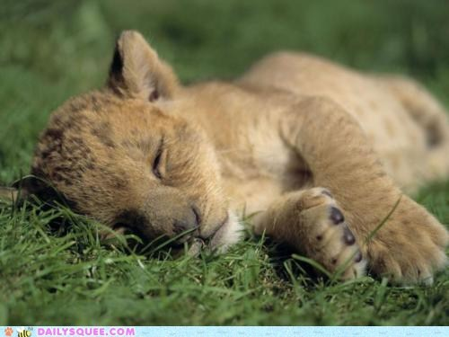baby cub grass lion nap sleep sweet