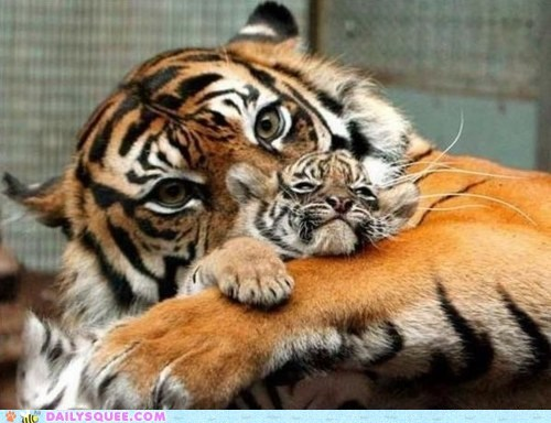 Babies baby best of the week big cats children Hall of Fame mom moms show off squee tiger tigers - 5902207232