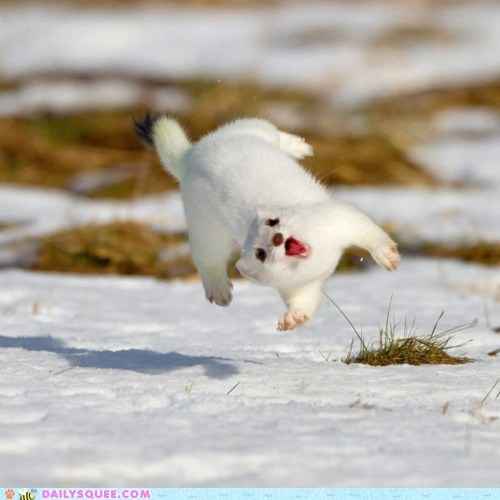 face jump jumping play snow stoat weasel white - 5902211328