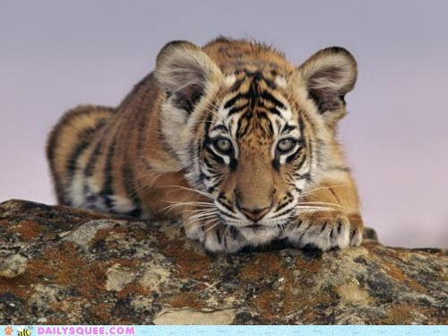 cub snuggles sweet tiger - 5902408960