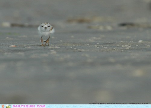 bird piping plover sand scurry tiny whatsit wednesday - 5902419456