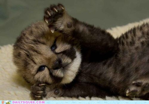 baby cheetah claws cub fierce Hall of Fame scary - 5902755584