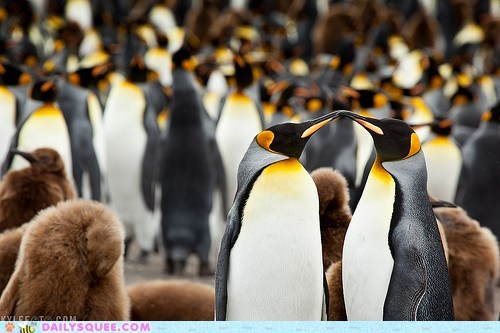 couple,emperor penguin,KISS,pair,penguins