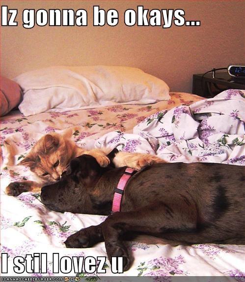 bed labrador lolcats love - 590298368