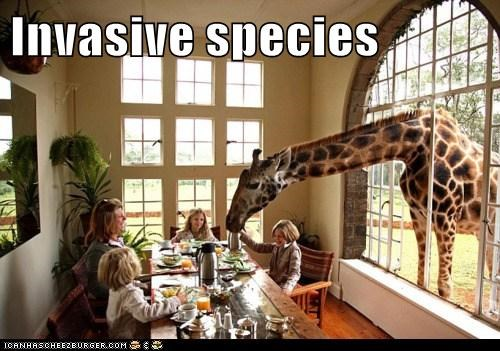 breakfast,food,girrafe,invasive,invasive species,nosey,wild animals