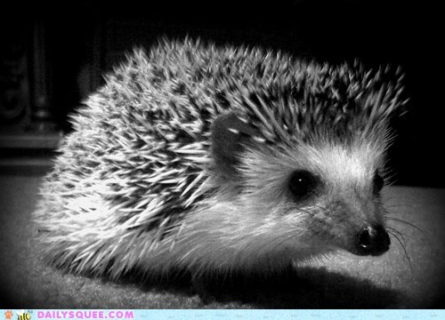 black and white hedgehog meaning philosophy squee - 5903083776
