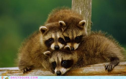 Babies pile raccoons squee spree stack three - 5907128576