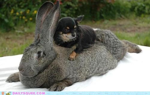 bunnies chihuahua cute dogs Interspecies Love rabbit ride squee - 5907136256