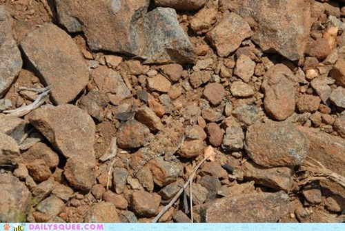 blainvilles-horned-lizar,camouflage,coast horned lizard,hidden,rocks,squee spree