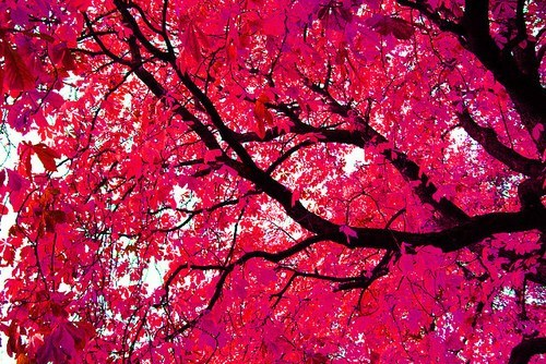 brilliant colors,getaways,leaves,red,tree,unknown location