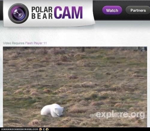 cute,denmark,live feed,polar bear,Polar Bear Cam,polar bears,siku