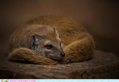 brown,curled up,golden mongoose,wood