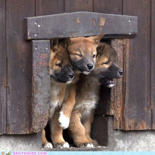 cram,crowd,dingos,door,pups,squeeze