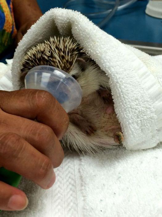 aww anesthasia photos cute hedgehog animals - 5912325