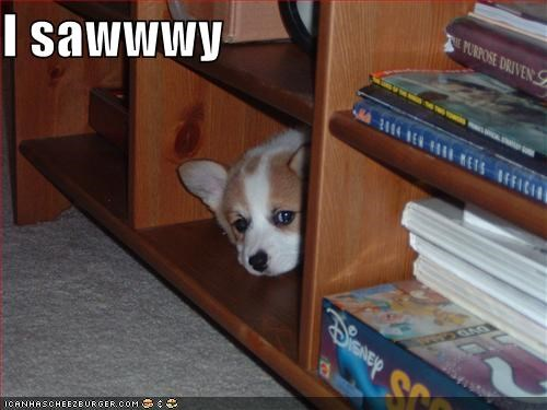 corgi hiding puppy sorry