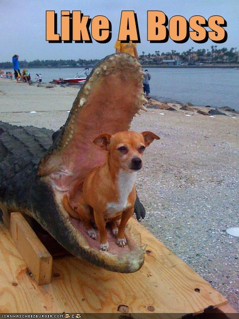 chihuahua dogs funny Like a Boss mix mixed breed