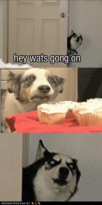australian shepherd dogs funny husky - 5917218048