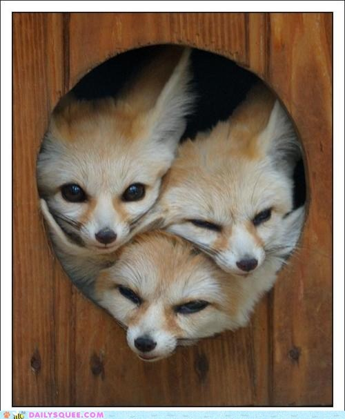 door,fennec foxes,heads,hole,wall,wood