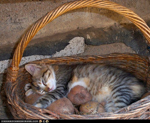 baskets comfort is relative cyoot kitteh of teh day food potatoes sleeping vegetables - 5918213376