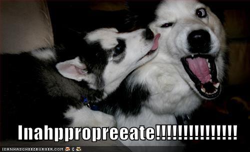 licking malamute - 591838976