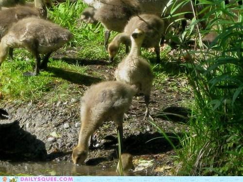 drink,geese,goslings,grass,walk,water