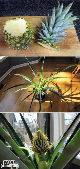 DIY gardening Growing pineapple PROTIP - 5921275648