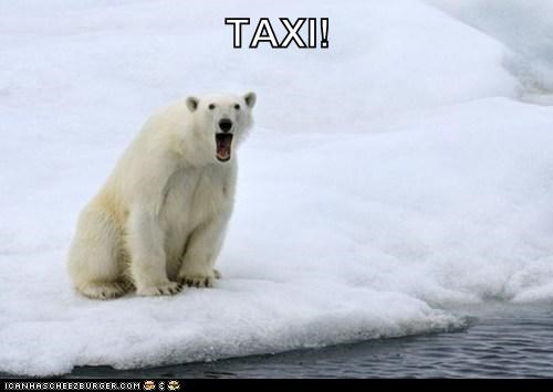 ice,polar bear,ride,taxi,water,winter,yell