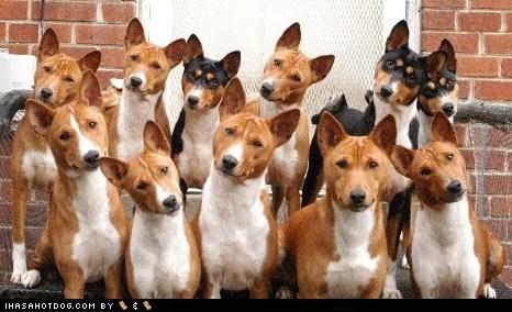 basenji dogs funny goggie breed ob teh week - 5925581312