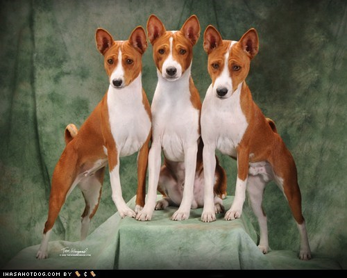 basenji cyoot dogs - 5926092544