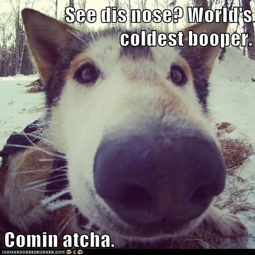 dogs funny husky iditarod mix sled dog