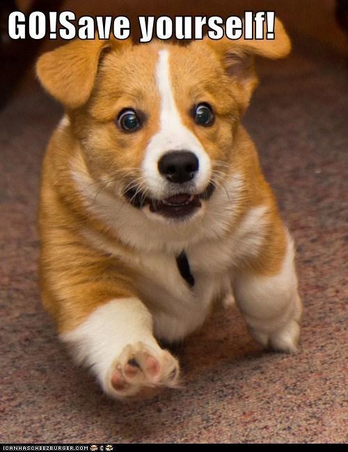corgi cyoot funny puppy - 5930780416