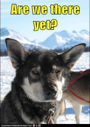 dogs dog sledding funny iditarod news sled dog update