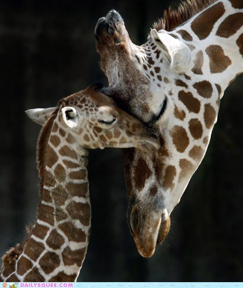 baby,giraffes,love,mom,nuzzle,snuggle,squee spree