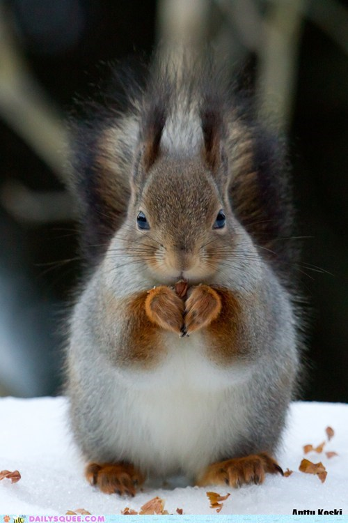 cute heart heart-shaped paws snow squee squirrel squirrels - 5933326336