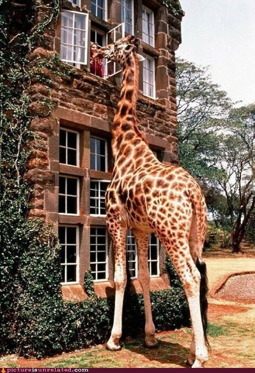 giraffes good morning pet wtf - 5933844736